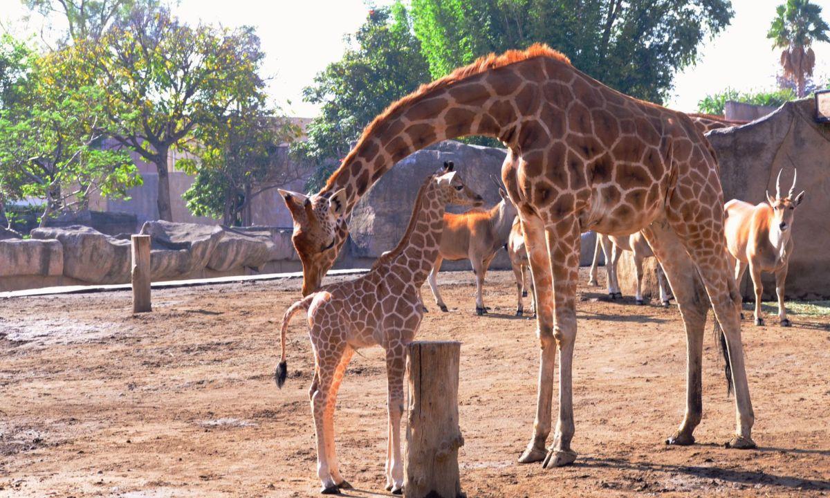 jirafa zoologico aragon nombre